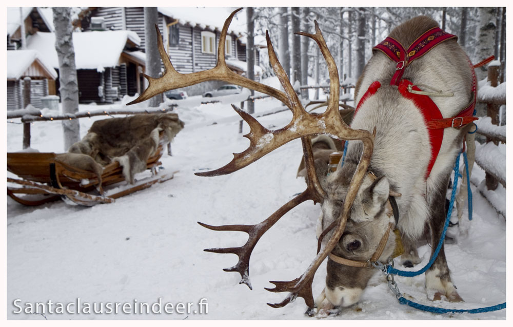 Photo Santa Claus Reindeer In Santa S Backyard In Santa