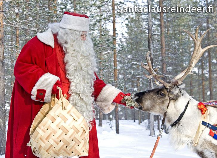 Babbo Natale Con Le Renne.La Renna Di Babbo Natale Mangia Il Lichene Il Suo Cibo Preferito